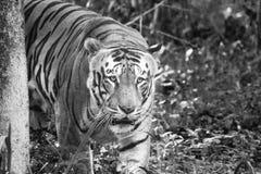 Tiger Potrait. A monocrome tiger potrait in Banerghetta National Park stock photo