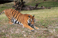 Tiger pouncing Stock Photography