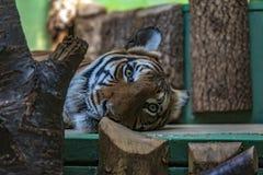 Tiger in Prag-Zoo stockfotos