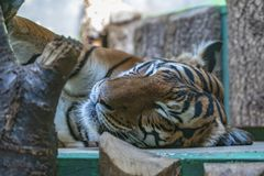 Tiger in Prag-Zoo stockbilder