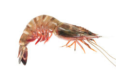 Tiger Prawn Stock Images