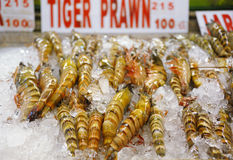 Tiger prawn Royalty Free Stock Photo