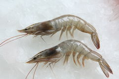 Tiger prawn. Indian tiger prawn on ice background Stock Image
