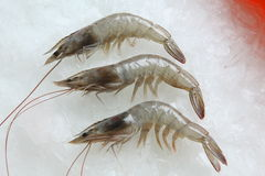 Tiger prawn. Indian tiger prawn on ice background Stock Photos