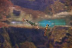 Tiger prawn Royalty Free Stock Image