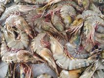 Tiger prawns. Raw tiger shrimp on ice . Stock Image