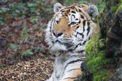 Tiger Predator Royalty Free Stock Photo