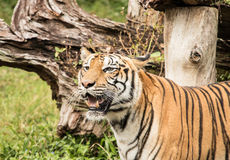 Tiger is a predator animal. stock images