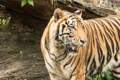 Tiger is a predator with ferocity in a large forest. Tiger is wildlife in the jungle Stock Images