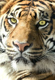 Tiger profile Royalty Free Stock Photo