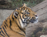 Tiger Profile. Head and shoulder profile shot of a Sumatran Tiger stock images