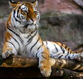 Tiger profile Royalty Free Stock Image