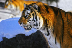 Tiger Profile. Endangered Siberian tiger hangs out in the snow Royalty Free Stock Photo