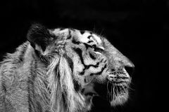Tiger profile. In black and white over black background royalty free stock images