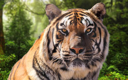 Tiger Profile in Green Forest Background Royalty Free Stock Photo