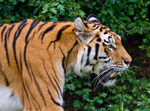 Tiger profile head close up Royalty Free Stock Photos