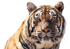 Tiger Profile - Isolated - White Background. Tiger Closeup Profile on Background Stock Photo