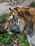 Tiger profile from left Royalty Free Stock Photography