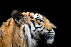 Tiger profile. Over black background stock images