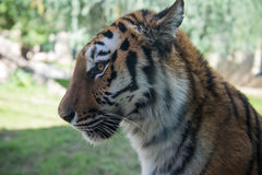 Tiger profile shot Royalty Free Stock Photos