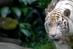 Tiger on the prowl. A white tiger stock image