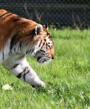 Tiger. On the prowl Royalty Free Stock Photos