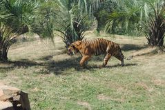 Tiger on the prowl. Beautiful tiger on the prowl, tiger stripes, green trees in Stock Image