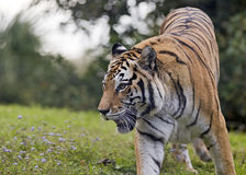 Tiger on the prowl. A tiger on the prowl in a meadow Stock Photos