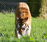 Tiger. On the prowl in the sun Royalty Free Stock Photos