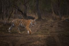Tiger on prowl. A young tiger walks around its territory immediately after heavy showers. The soil in the fore and background is wet hence giving a beautiful Stock Photo