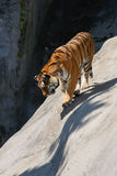 Tiger Prowling on Rock Stock Photos