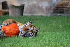 Tiger and pumpkin Stock Images