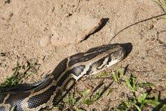 Tiger python Royalty Free Stock Image