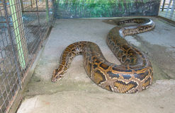 Tiger Python. Close up of big Tiger Reticulated Python stock photo
