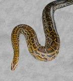 Tiger Python Royalty Free Stock Photo