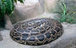 Tiger python Stock Photos