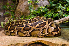Tiger Python (python molurus bivittatus) Royalty Free Stock Photo