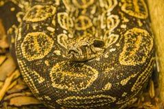 Tiger-Pythonschlange (Pythonschlange molurus bivittatus) Lizenzfreies Stockbild