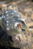Tiger Quoll, Tasmania, Australia Stock Photo