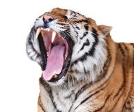 Tiger rage. Roaring tiger isolated on white background Stock Photo