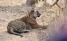 Tiger in Ranthambhore Wild Life sanctuary Park Royalty Free Stock Photos