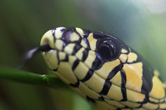 Tiger rat snake Stock Photography