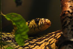 Tiger rat snake Stock Image