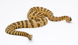 Tiger Rattlesnake Fotografia Stock Libera da Diritti