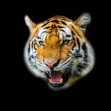 Tiger. A tiger ready to attack looking at you Stock Photos