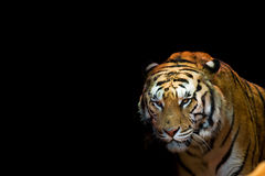 A tiger ready to attack looking at you Stock Photography