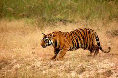 Tiger ready to hunt Royalty Free Stock Photo