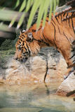 Tiger ready to jump. Big tiger ready to jump over water Royalty Free Stock Photos