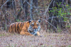 Tiger ready to pounce. Bengal Tiger sighted in western ghats of India Royalty Free Stock Photo