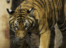 Tiger Ready to Pounce Royalty Free Stock Images